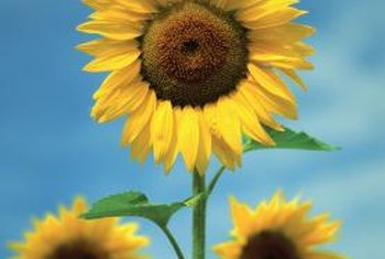 Common sunflowers tower into the sky during long, hot summers.