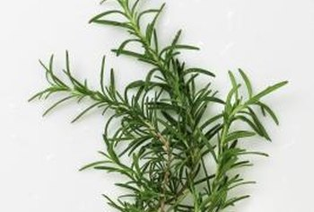 Fresh or dried rosemary leaves provide an aromatic culinary herb.