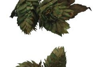 Hops cones are attractive and useful in brewing.