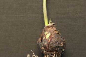Bulbs are planted with their pointed tip facing upwards.