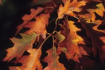 Deciduous oak trees add ornamental interest to the home landscape in autumn.