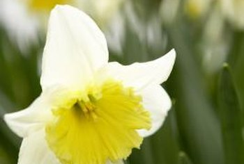 Narcissus tazetta is perfect for gardens in warm climates.