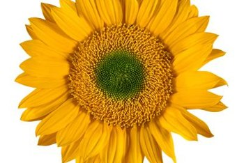 The center of a sunflower's flower head contains many tiny flowers.