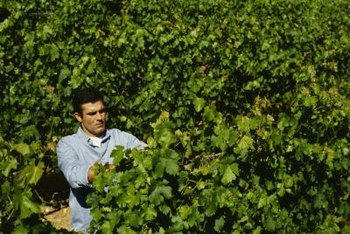 Vineyards are carefully pruned and monitored for pests and diseases.
