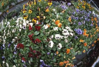 Winter-hardy pansies bloom in a variety of colors.