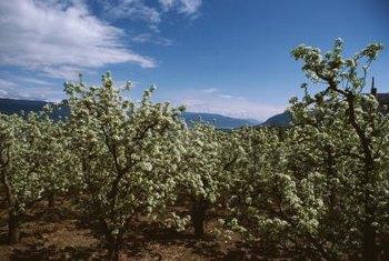 Dwarf Peach Tree Varieties Home Guides SF Gate