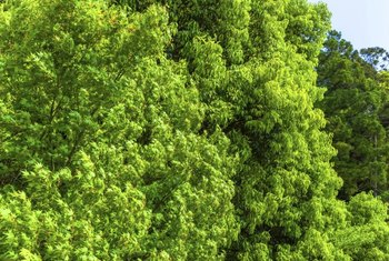 Camphor tree leaves are bright green.