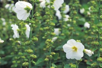 Hollyhocks bring cottage charm to summer gardens.