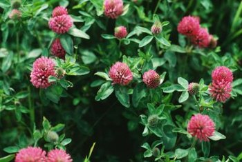 Red clover provides ground cover and is a valuable source of nitrogen for garden soils.