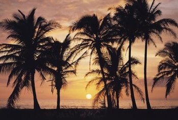 Queen palms grow between 25 and 50 feet tall.
