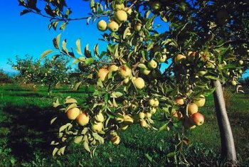 Fuji apples grow in full sun.