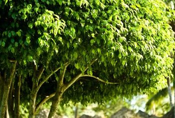 Glossy, dense foliage conveys a contented weeping fig.