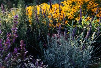 Lavender mixes well with other sun-loving garden perennials.