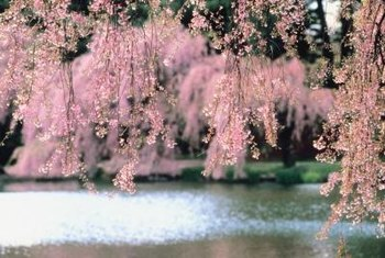 Weeping cherry trees are often planted near water for effect.