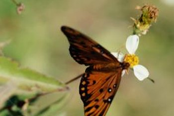 Purple passion vines are hosts for gulf fritillary butterflies.