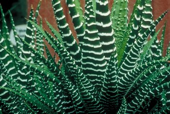 Zebra plants are hardy succulents as long as they are not overwatered.