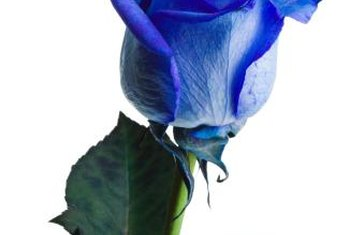 Using dye is the only way to create a true blue rose.