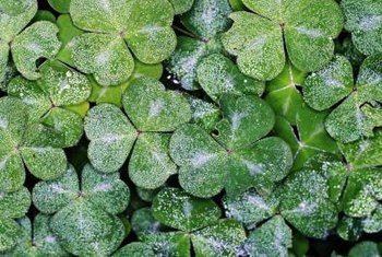 Shamrocks grow well when several plants are clumped together.