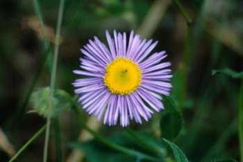 Purple asters provide a cool contrast to fall's oranges, reds and yellows.