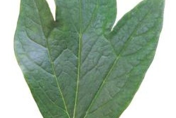Three-lobed leaves can grow on sassafras.