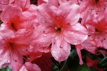 Azaleas provide winter color in the garden.