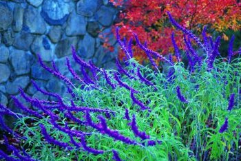 Salvia are plants that tolerate dry conditions and play well with others.
