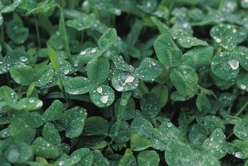 White clover reduces the need for fertilizer on the lawn.