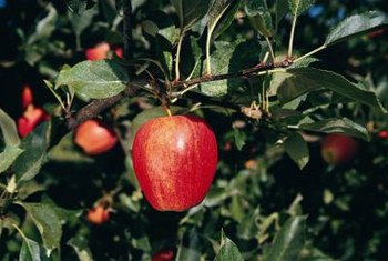 After planting, apple trees should be thoroughly watered and fertilized.