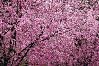 Flowering plum trees add beauty to the yard.