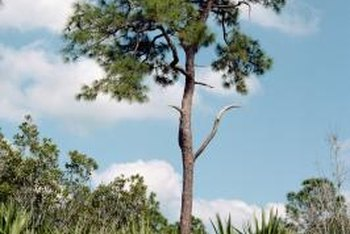 The height of the Sabal palmetto depends on the amount of sun it receives.