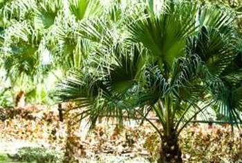 Use Roundup carefully around your palm trees.