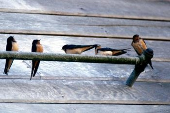 Swallows return to the same nest each year.