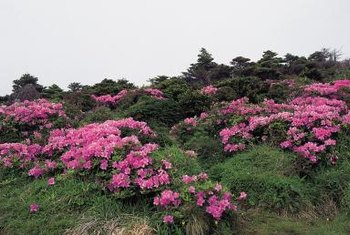 The orchid rockrose has a mounding form, suitable for growing down hillsides.
