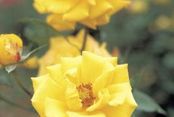 """Sun Flare"" roses attract bees and butterflies to the landscape with their bright flowers."