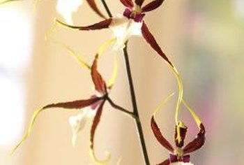 Orchid flowers come in all possible colors, including many that combine two or more hues.