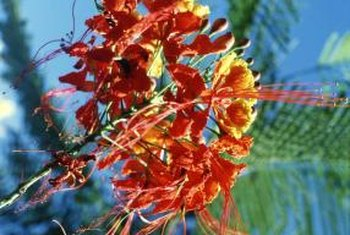 Pride of Barbados plants produce 8- to 10-inch long clusters of red and orange flowers.