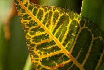 Croton is one of a small number of houseplants with multicolored foliage.