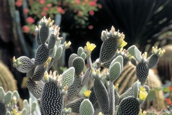 A healthy cactus adds texture, structure and color to the garden.