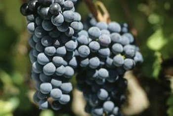 Concord grapes are easily infected if not properly cared for.