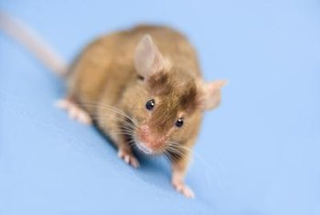 Mice don't forage more than 25 feet from their nest.