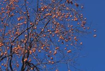 Persimmon trees grow in various sizes.