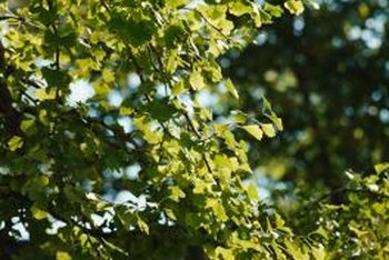 Ginkgo trees benefit from yearly fertilizer applications.