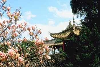 Chinese magnolia is often used as a rootstock plant.