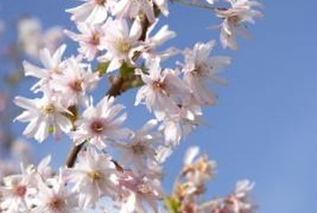 Cherry trees are known for their beautiful spring flowers.