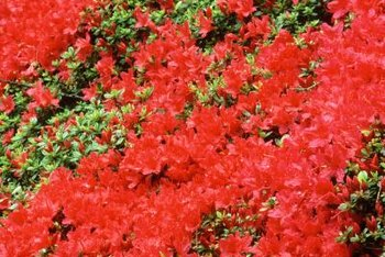 Red azaleas add fire to the yard in early spring to summer.