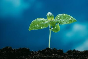 Seeds will germinate and grow under artificial light.