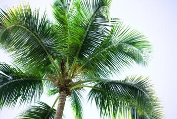 Coconut palms have pinnate, or feather-shaped, leaves.