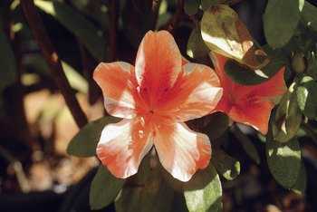 Rhododendron varieties produce a wide range of flower colors.
