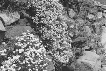 Flowering plants provide an interesting contrast in a rock garden.