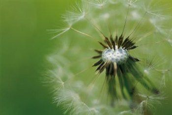 Dandelions are dispersed to great distances by the wind.
